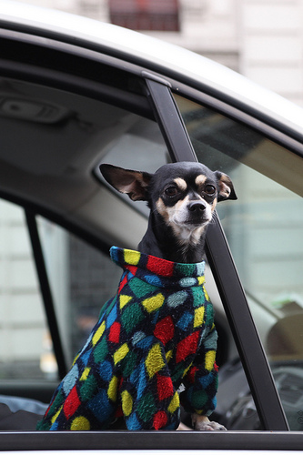 harlequin dog (leaning out car window)