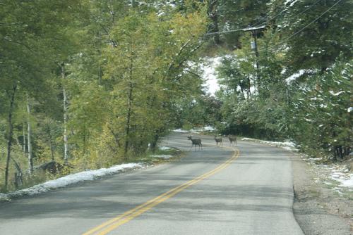 Deer on road in Colorado