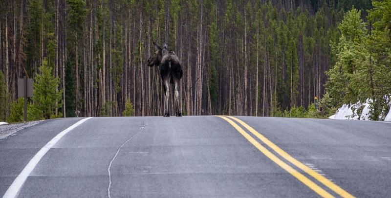 Wildlife-Car Collisions in Colorado
