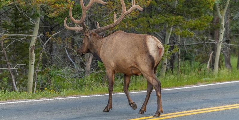 Colorado Agencies Cooperate to Reduce Auto-Animal Accidents